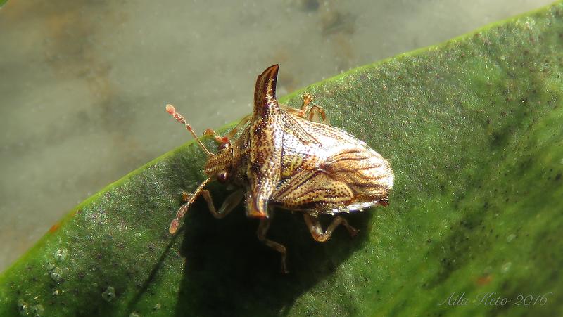 Panaetius trabifer Horváth (Acanthosomatidae)