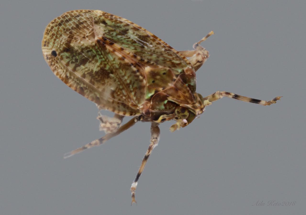 Errotasa neovalesiaca Emeljanov, 2005 (Achilidae)