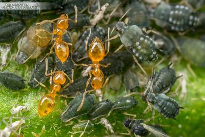 Aphid Ant Farm IV