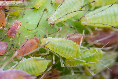 Aphid Cluster