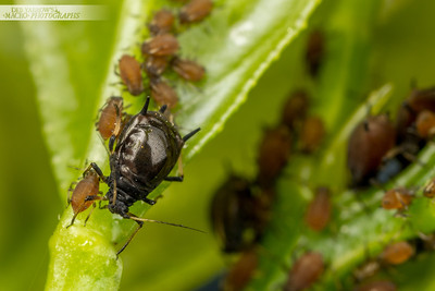 Black Citrus Aphids
