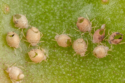 Parasitised Aphids