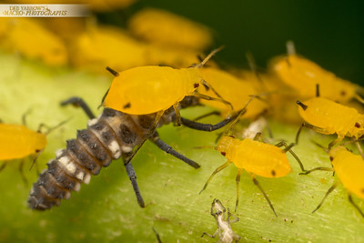 Aphid Defence