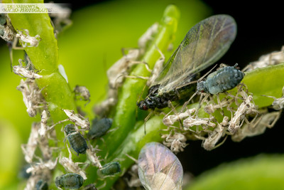 Aphid Skins