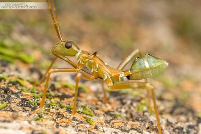 Green Ant Mimic Bug