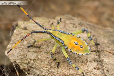 Leaf Tip Wilt Bug