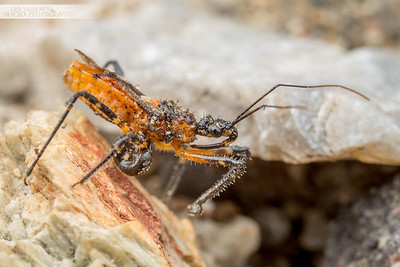 Assassin Bug & Prey