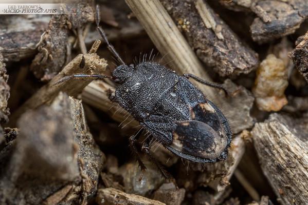 Chunky Black Bug