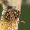 Humpback Bug