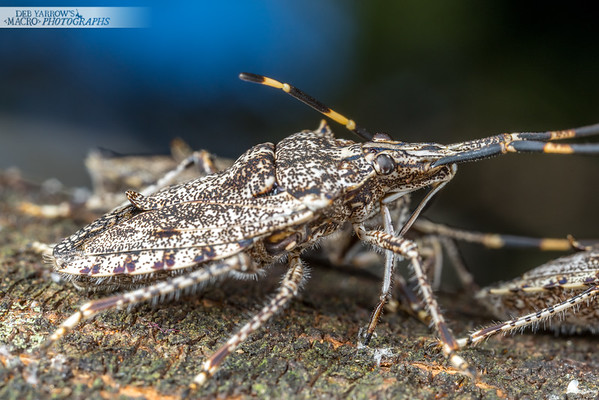 Acacia Shield Bug