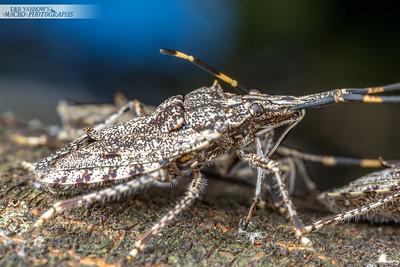 Acacia Shield Bug