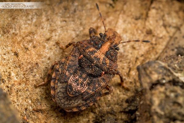 Bark Shield Bug