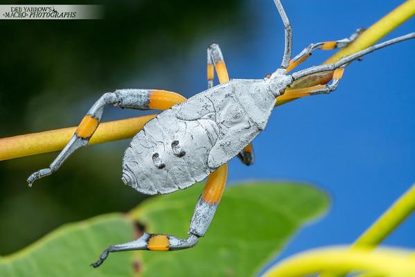 Coreid Bug Nymph