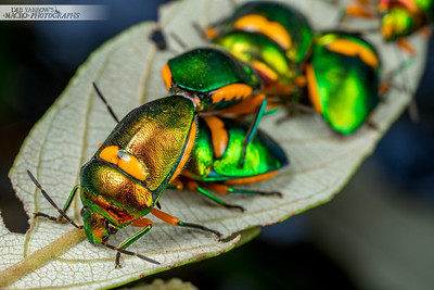 Green Jewel Bugs