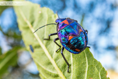 Harlequin Bug Nymph