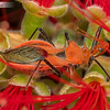 Large Orange Assassin Bug