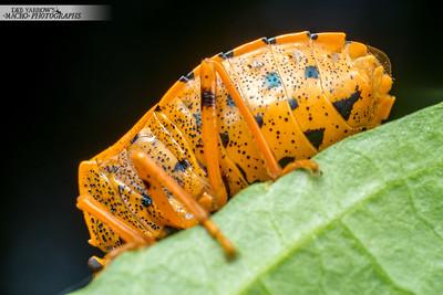 Orange and Black Shield Bug