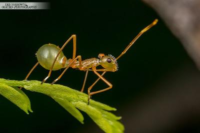 Baby Ant-mimic