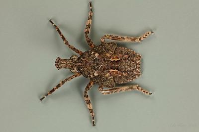 Eurinopsyche sp. (Fulgoridae)