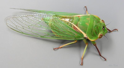 Cyclochila australasian Donovan, 1805 (Cicadidae)