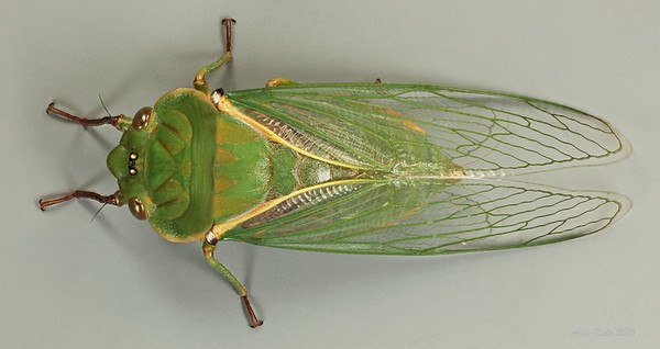 Cyclochila australasiae Donovan, 1805 (Cicadidae)