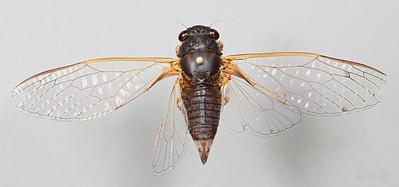 Birrima castanea Goding and Froggatt, 1904 (Cicadidae)