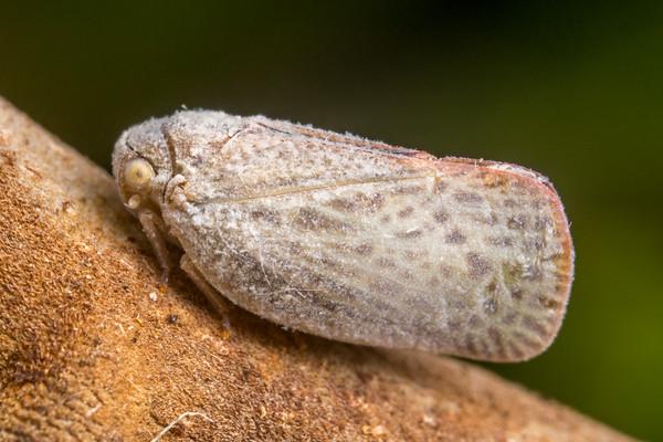 Waxy Planthopper