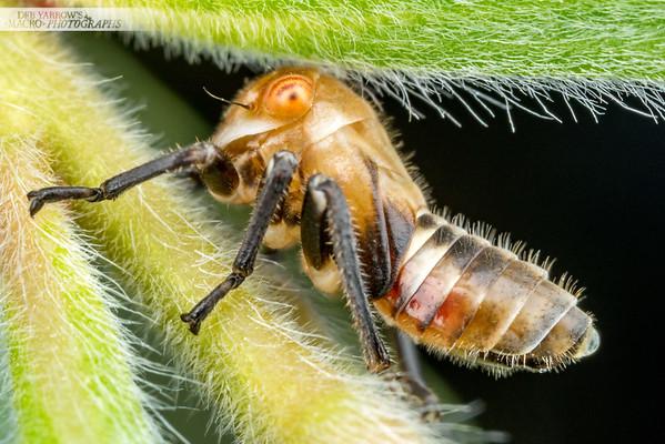 Leafhopper Nymph