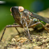 Green and Black Planthopper