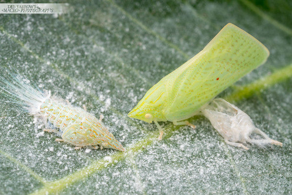 Hopper Nymph, Adult and Exuvia