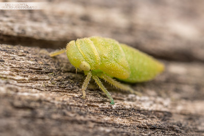 Baby Leafhopper