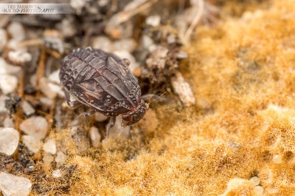 Brown Planthopper Nymph