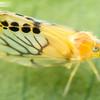 Black Spotted Planthopper