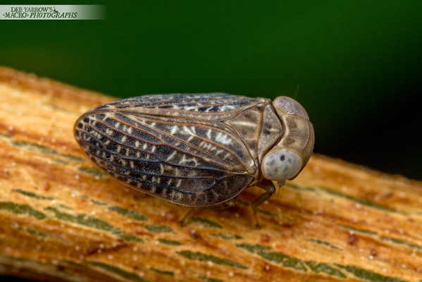 Fat Leafhopper