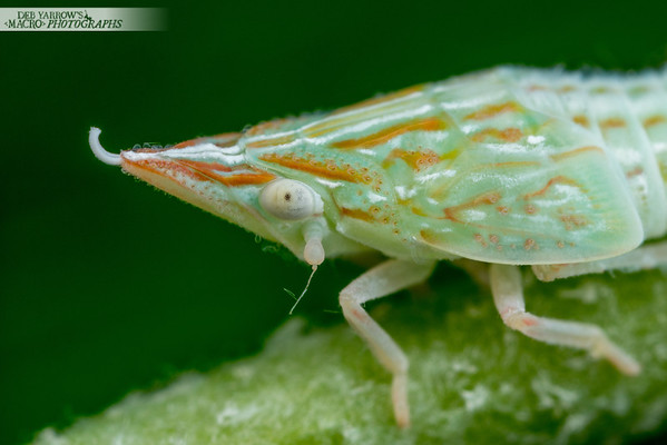 Hibiscus-eating Planthopper