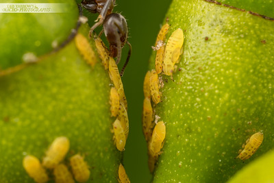 Jumping Plant Lice