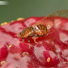 Lilly Pilly Psyllid