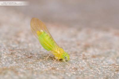 Green Psyllid
