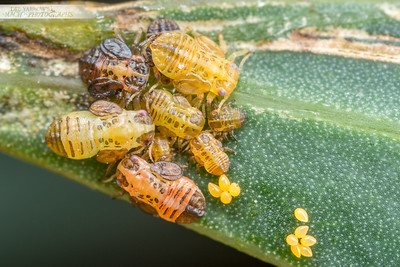 Psyllid Brood