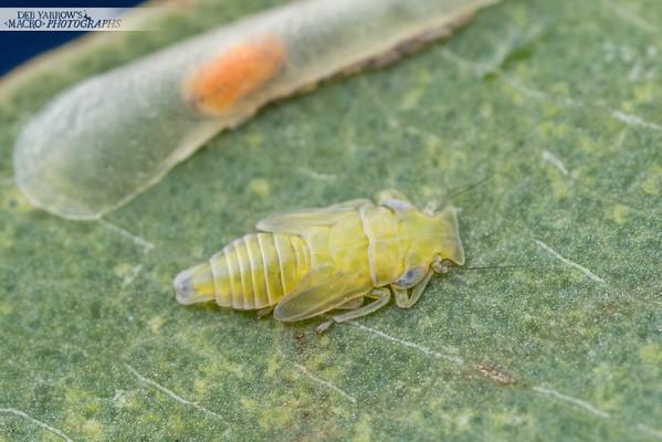 Shovel-nosed Bug