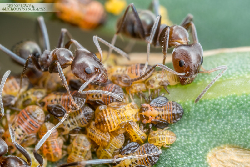 Ants and Psyllids