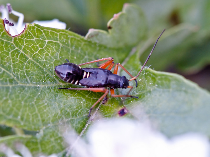 Miris striatus nymph