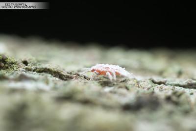 Mealybug Baby
