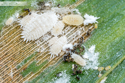 A Mess of Mealybugs