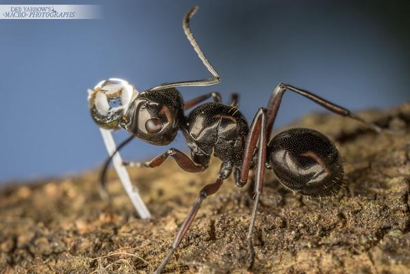 Rattle Ant with Honeydew