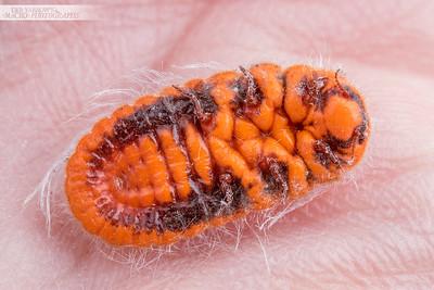 Snowball Mealybug