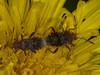 Rhopalus subrufus. Copyright Peter Drury 2010