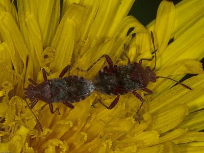 Scentless plant bugs (Rhopalidae)
