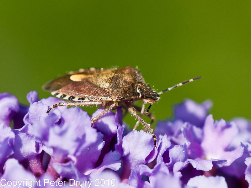 02 Sep 2010 - Shield bug (Dolycoris baccarum) seen at Plant Farm, Waterlooville. Copyright Peter Drury 2010
