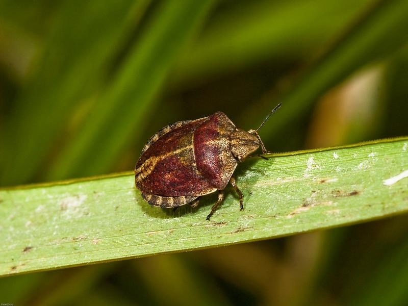 Shieldbug (Eurygaster testudinaria). Copyright 2009 Peter Drury